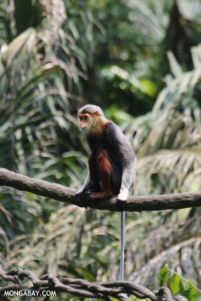 Costumed monkey