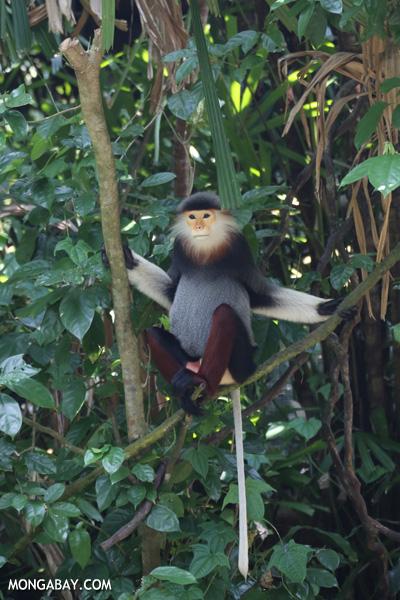 Douc Langur (Pygathrix nemaeus)