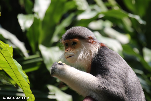 Costumed monkey (Pygathrix nemaeus)
