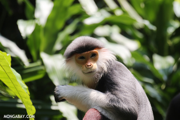 Costumed ape