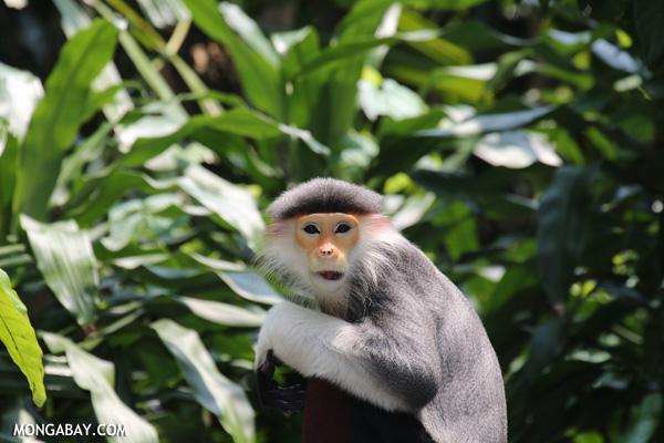Costumed ape (Pygathrix nemaeus)