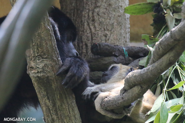 Mother and infrant howler monkeys