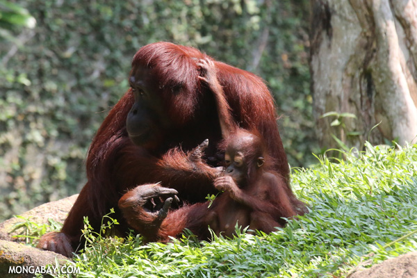 Adult and infant orangutan