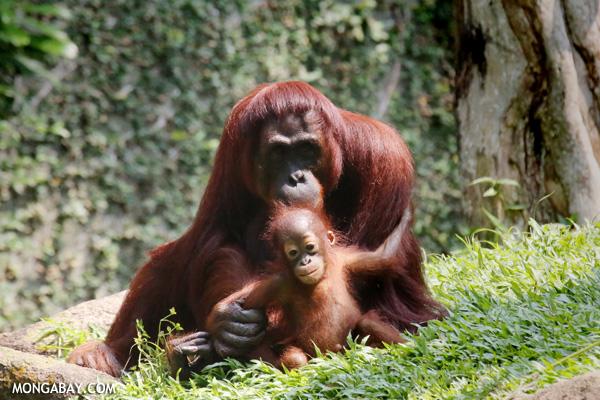 Adult and infant orangutan