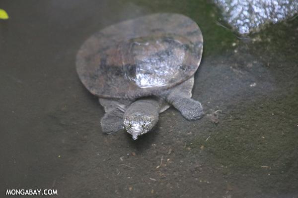 Malayan soft-shelled turtle