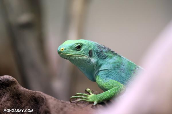 Female Fiji Iguana