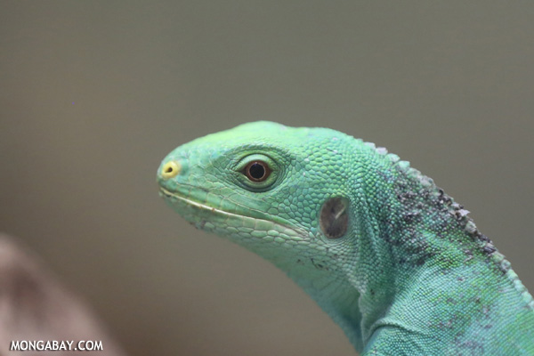 Female Fiji Iguana