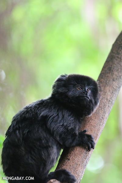 Goeldi's marmoset (Callimico goeldii)