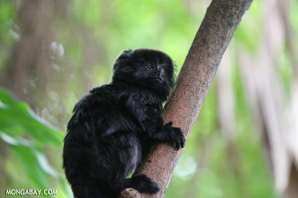 Goeldi's monkey (Callimico goeldii)