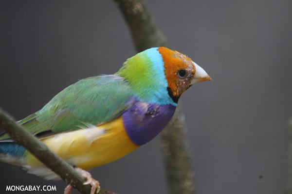 Rainbow finch (Erythrura gouldiae)