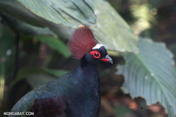 Crested partridge (Rollulus rouloul)