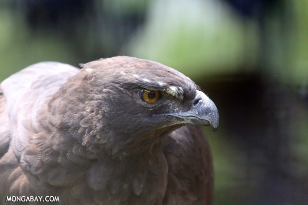 Crested hawk-eagle (Nisaetus cirrhatus)