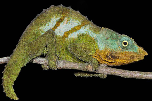 Google Earth spurs discovery of a 'new' chameleon species