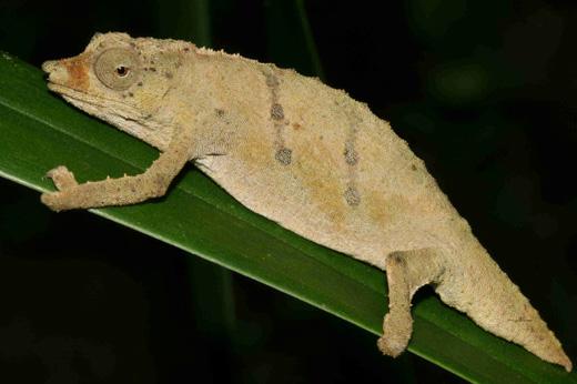 Mount Namuli pygmy chameleon (Rhampholeon tilburyi)