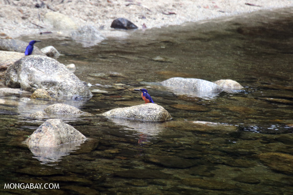 Azure Kingfisher (Alcedo azurea) [australia_babinda_boulders_121]
