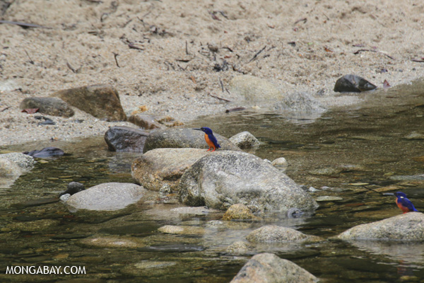 Azure Kingfisher (Alcedo azurea) [australia_babinda_boulders_125]