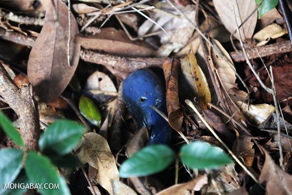 Blue fruit in Australia