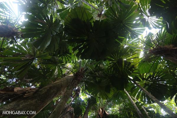 Fan palms [australia_daintree_031]