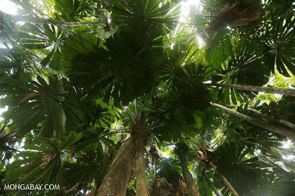 Fan palms [australia_daintree_032]