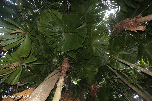 Fan palms [australia_daintree_033]