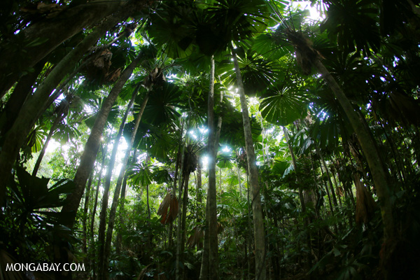 Fan palms in the Australian rainforest