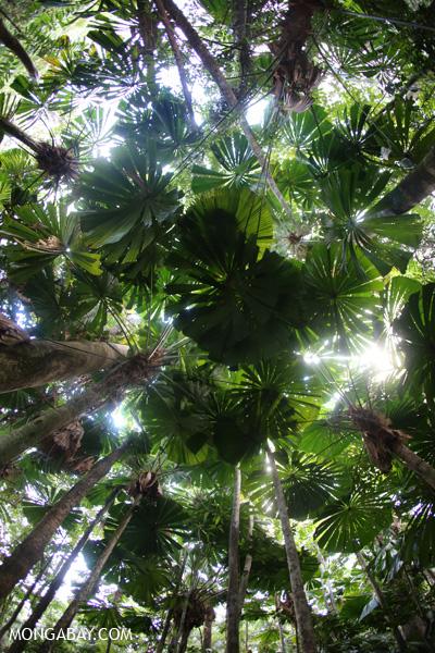 Fan palms [australia_daintree_037]