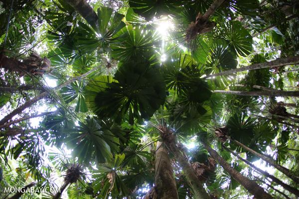 Fan palms [australia_daintree_038]