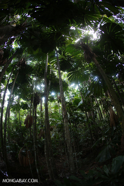 Fan palms [australia_daintree_041]