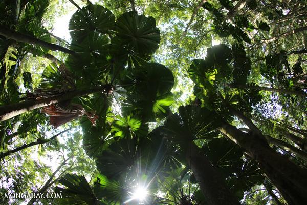 Fan palms [australia_daintree_088]