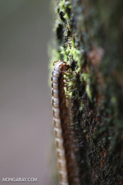 Millipede [australia_daintree_098]