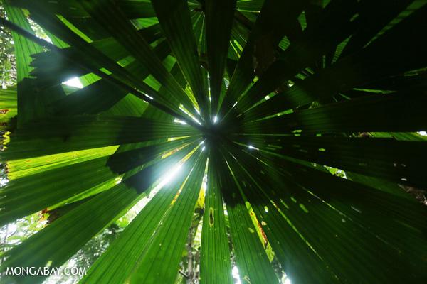 Palm leaf [australia_daintree_116]
