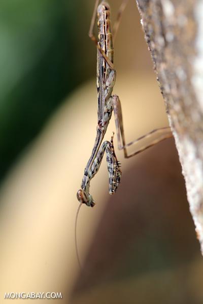 Praying mantis [australia_daintree_129]
