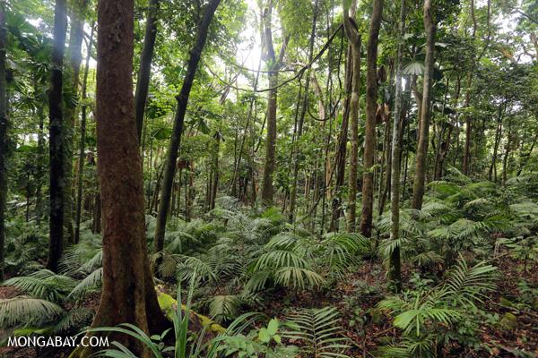 Forest on the Mount Sorrow trail [australia_daintrail_134]