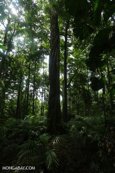 Forest on the Mount Sorrow trail [australia_daintrail_138]