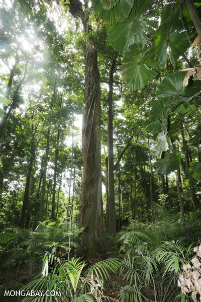 Forest on the Mount Sorrow trail [australia_daintrail_139]