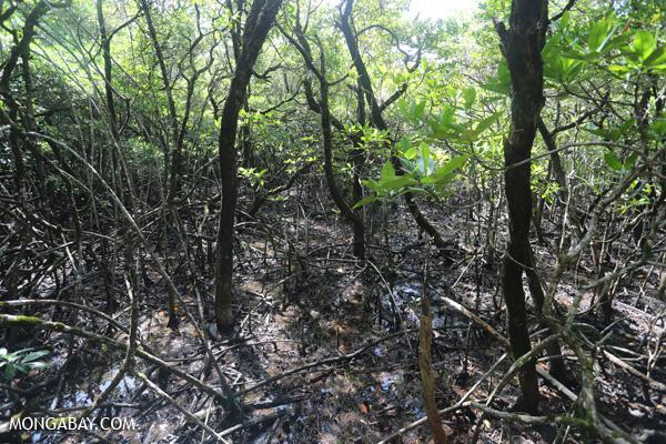 Mangrove forest [australia_daintree_148]