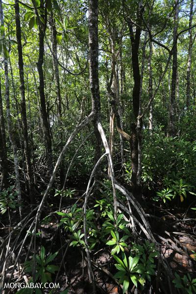Mangrove forest [australia_daintree_150]
