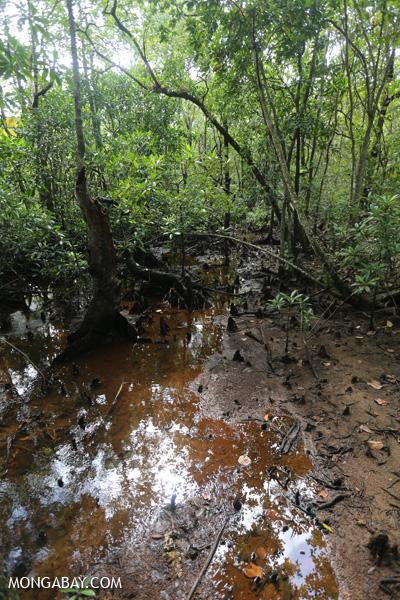 Mangrove forest [australia_daintree_165]