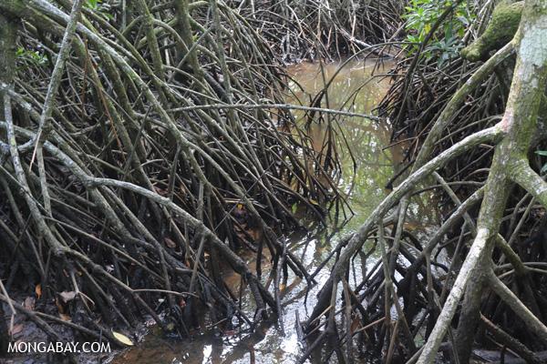 Mangrove forest [australia_daintree_167]