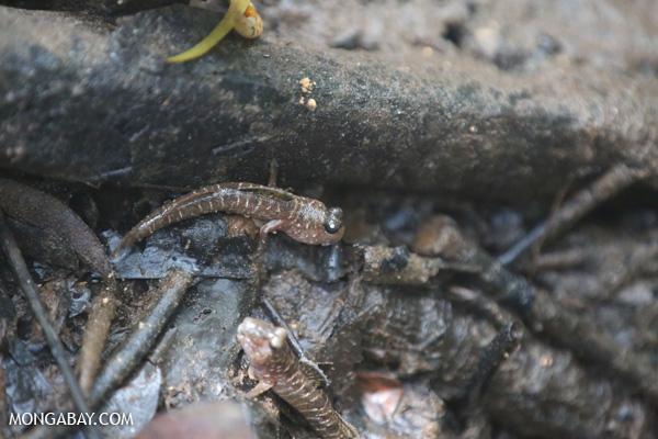 Australian mudskipper [australia_daintree_181]