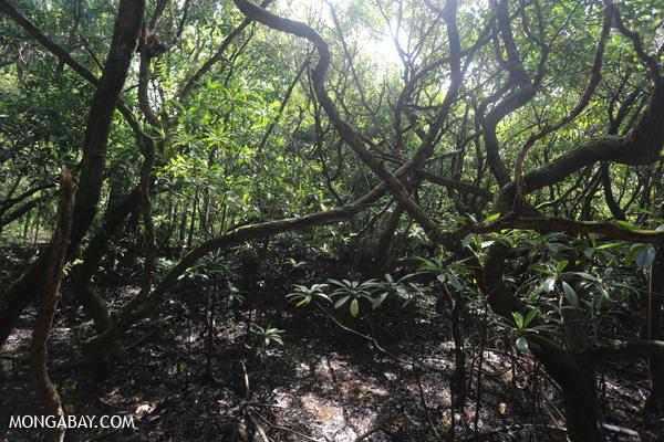 Mangrove forest [australia_daintree_188]