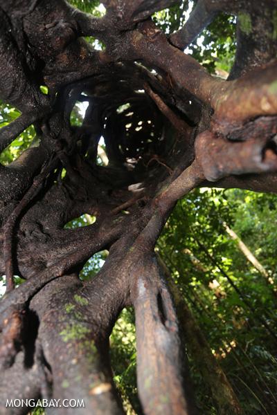 Inside a Strangler fig [australia_daintree_214]
