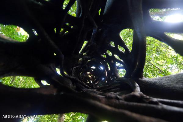 Inside a Strangler fig [australia_daintree_215]