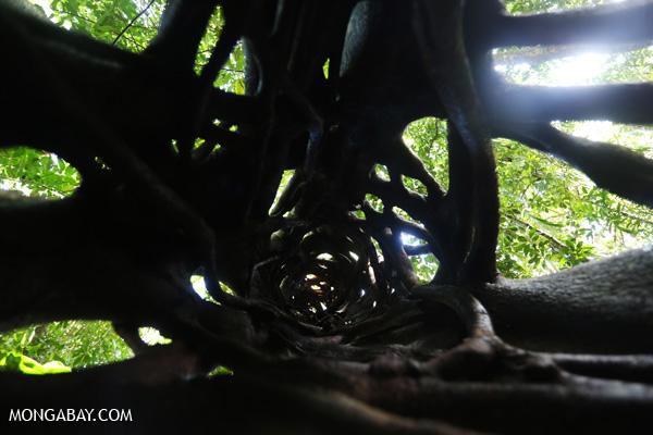 Inside a Strangler fig