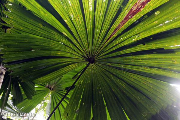 Fan palm [australia_daintree_229]