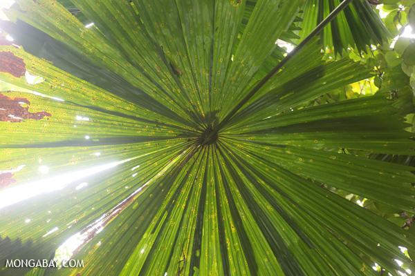 Fan palm [australia_daintree_230]
