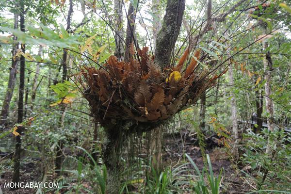 Birdnest fern [australia_daintree_231]