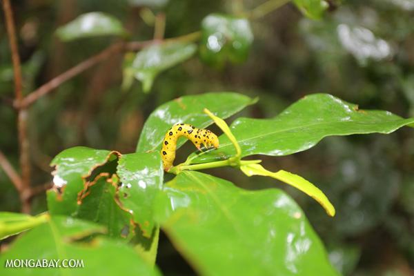 Yellow caterpillar with black spots