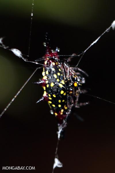 Thorn spider [australia_daintree_261]