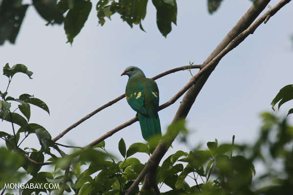 Wompoo fruit dove (Ptilinopus magnificus) [australia_daintree_269]